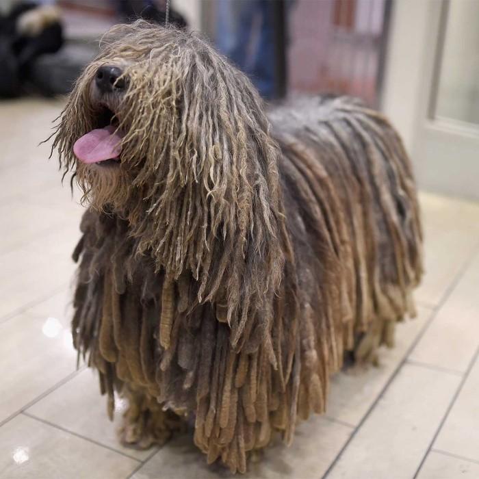 Пастушья порода собак