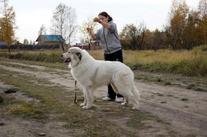 Выносливые собаки