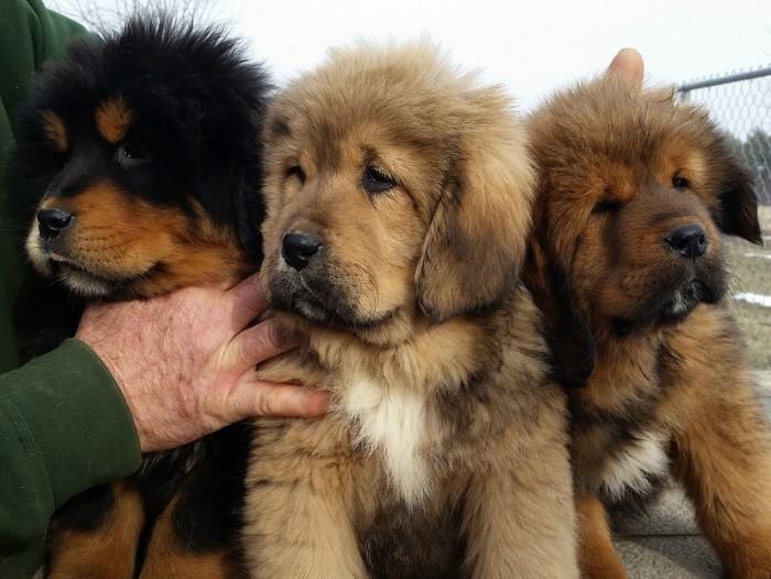 Дорогая порода собак