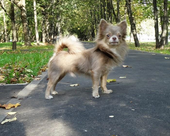 Длинношерстный пес