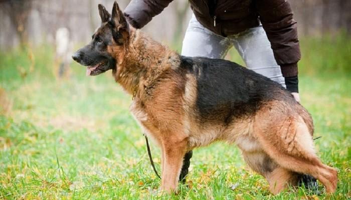 Как правильно воспитывать и дрессировать щенков немецкой овчарки