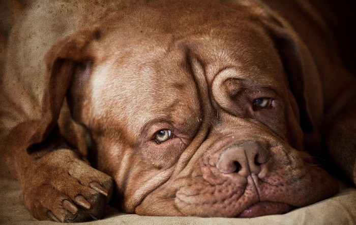 Французский мастиф характер собаки