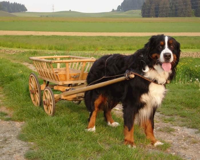 Применение собаке