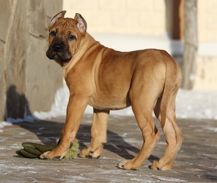 Канарский дог характер собаки