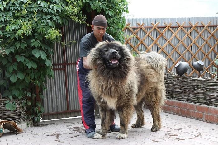 Для кого подойдет кавказская овчарка