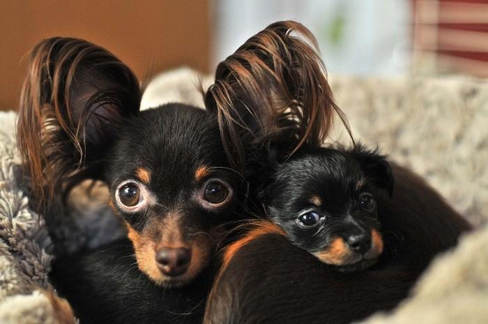 Русский той-терьер болезни собаки