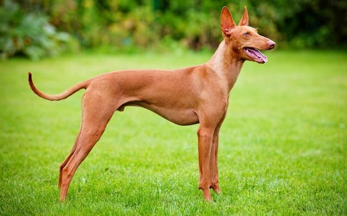 Сицилийская борзая внешний вид собаки