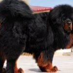 Самый большой в мире пес