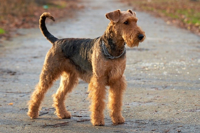 Вельштерьер характер собаки