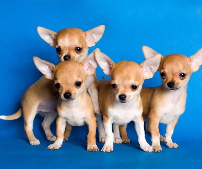 История миниатюрных собачек