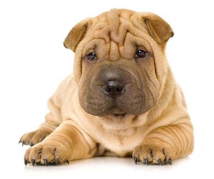 Древняя порода собак