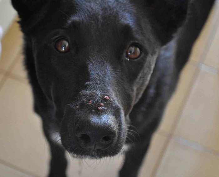 Демодекоз у собак лечение