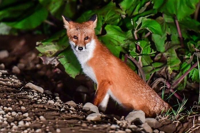 Подхватить бешенство от лисы