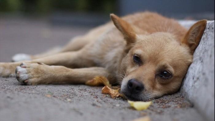 Для собаки смертельно опасно