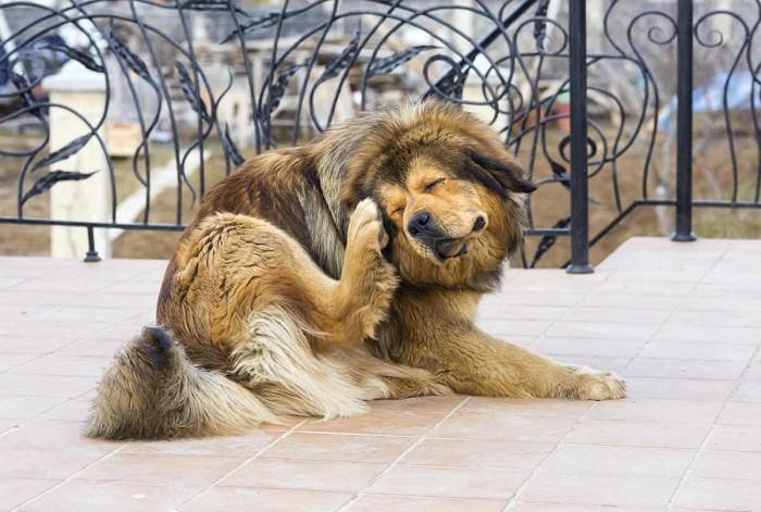 ТОП-5 причин почему собака чешется, если нет блох