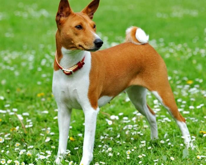 Близка фараоновой собаке