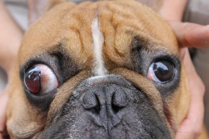 Выпадение глаз у мопса  первая помощь и лечение