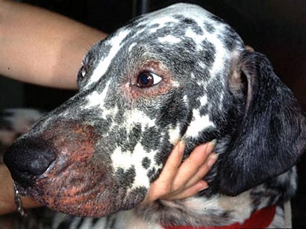 Аллергия у собак 5