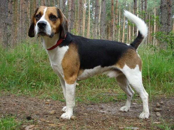 Бигль собака 5