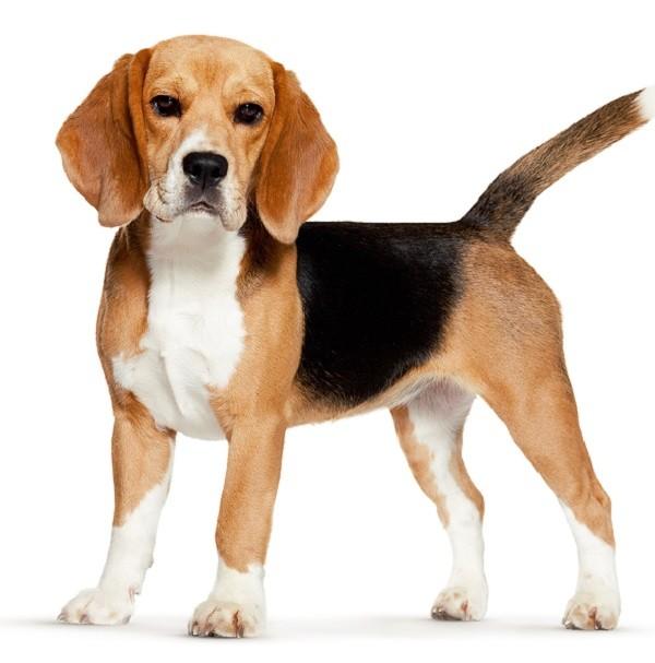 Бигль собака 1