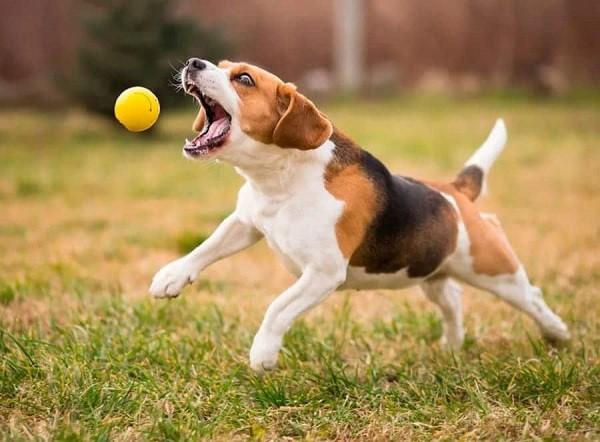 Бигль собака 2
