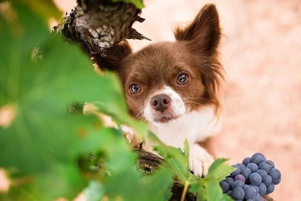 Можно ли собакам виноград 4