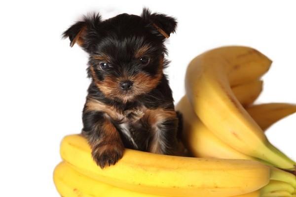 Можно ли собаке бананы - сколько и как давать, советы ветеринаров
