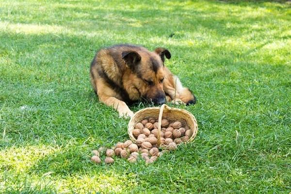 Можно ли собаке орехи 4