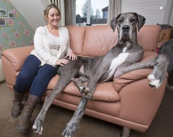 Самая большая собака в мире 1
