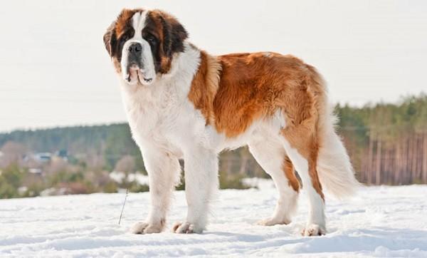 Самая большая собака в мире 6