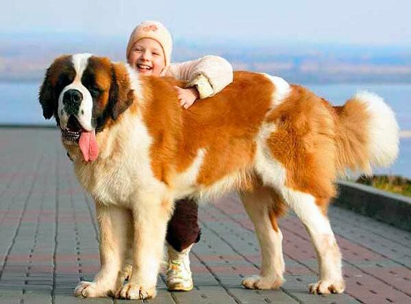 Самая большая собака в мире 4