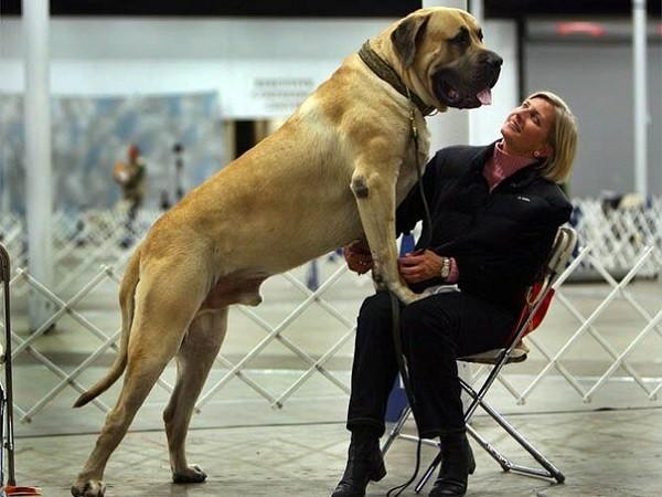 Самая большая собака в мире 2