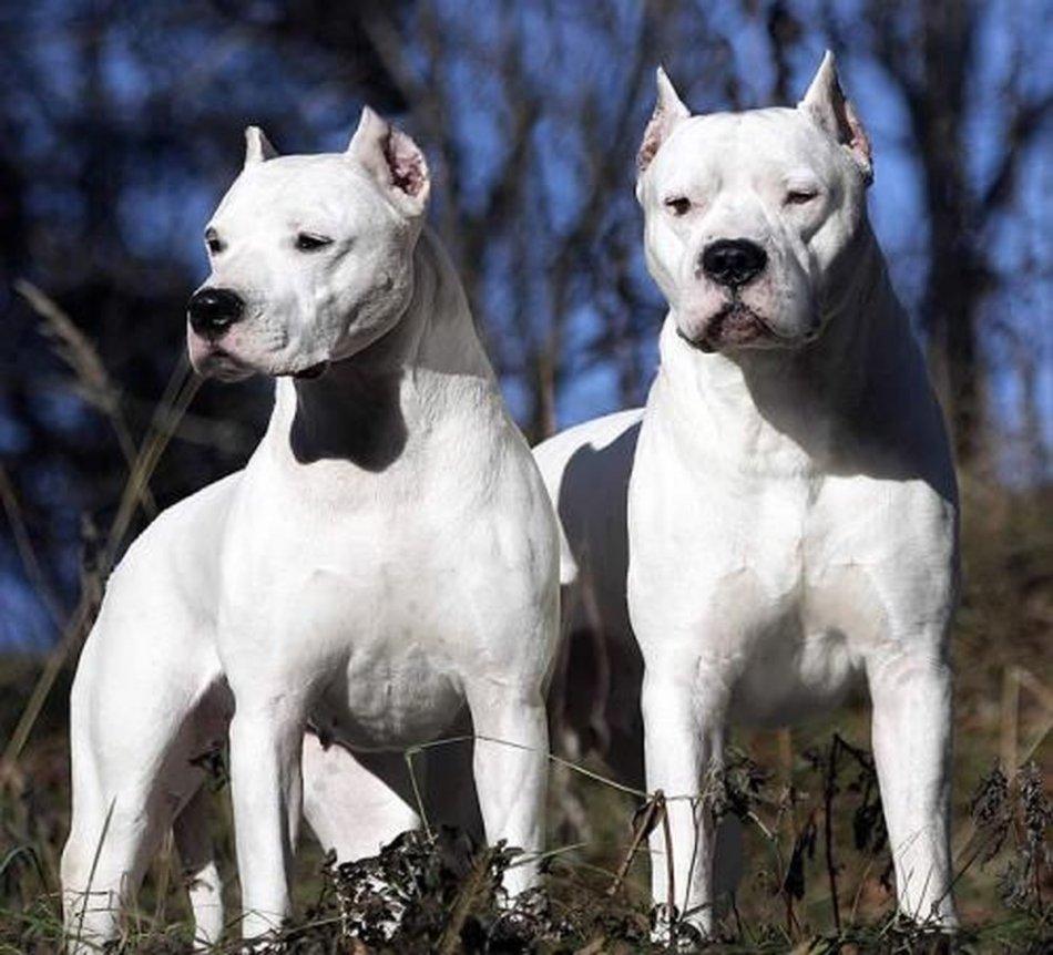 Argentinskij-dog-krasavec
