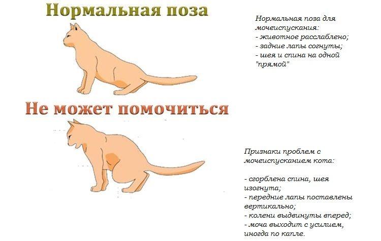 cistit-u-koshek1