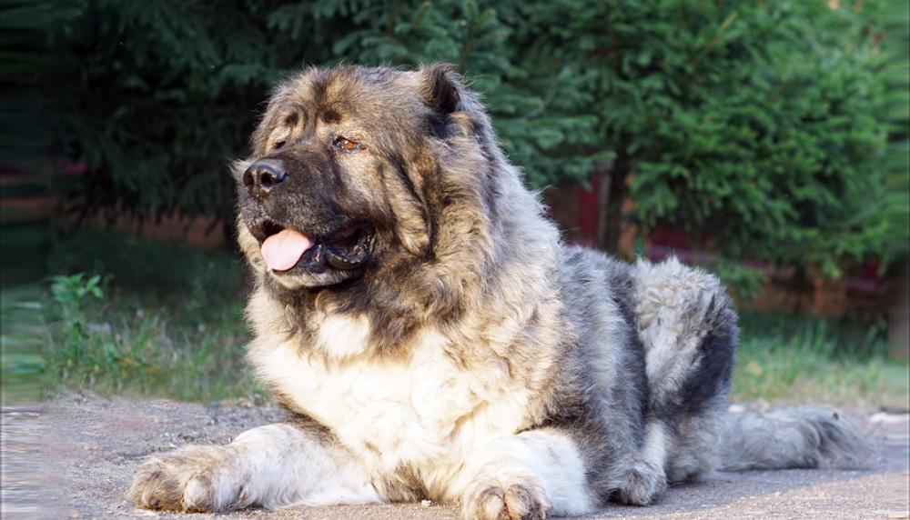 kavkazskaya-ovcharka22