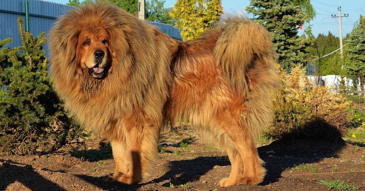 tibetskij-mastif1