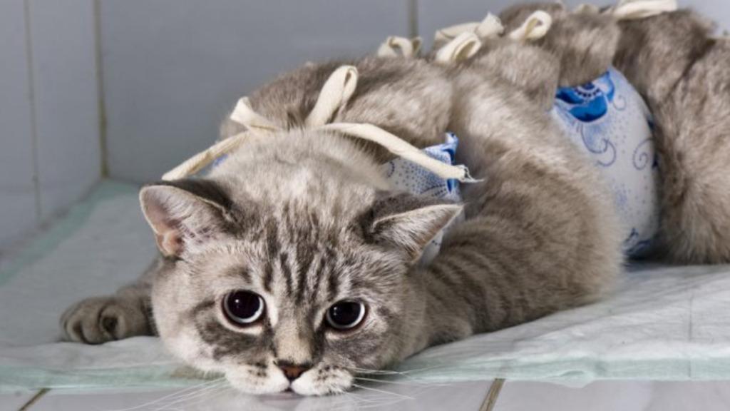 kastraciya-kotov